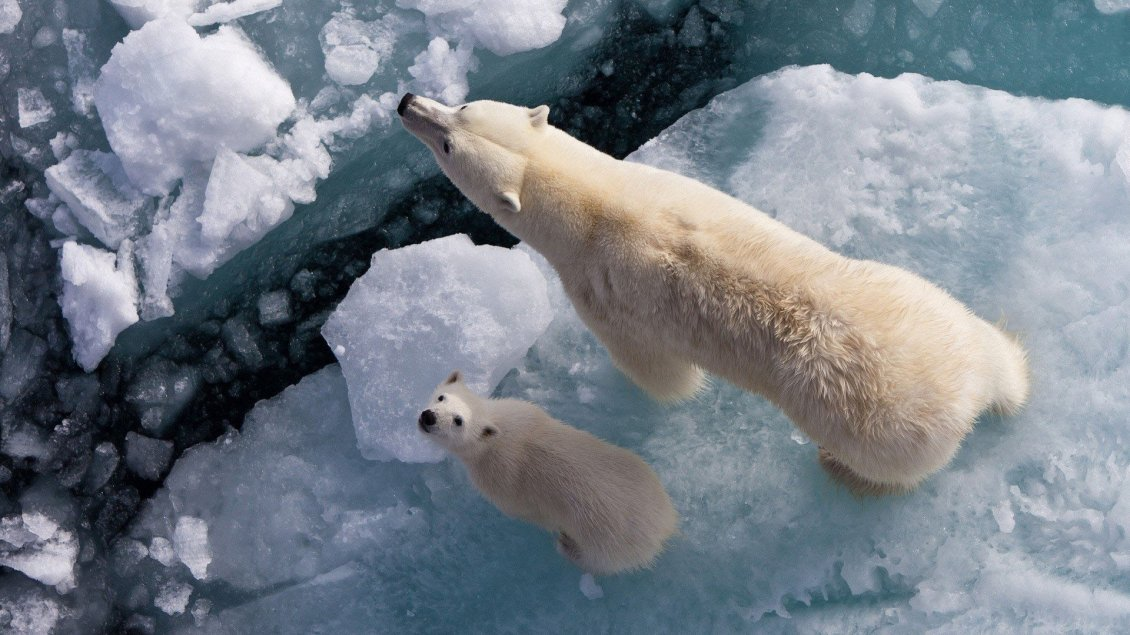 Download Wallpaper Mama and baby polar bears sit on a piece of ice