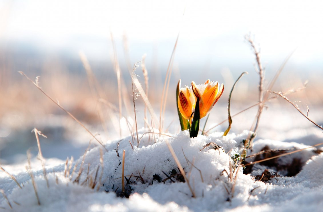 Yellow Spring Flower In The Snow Hd Wallpaper