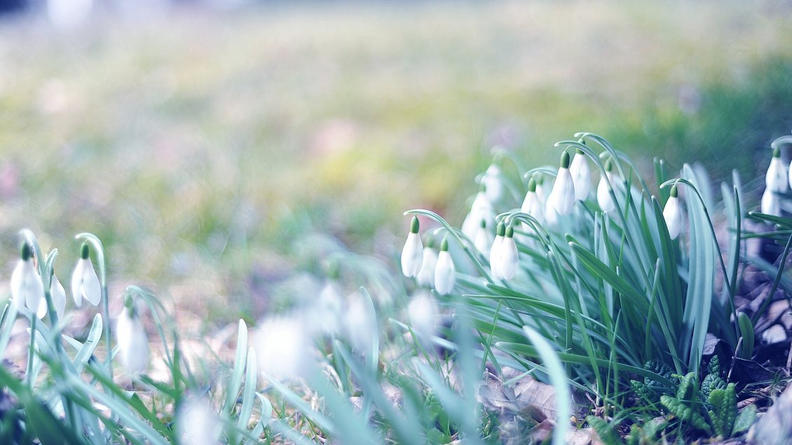 Download Wallpaper Lots of snowdrops in the garden - Spring season time