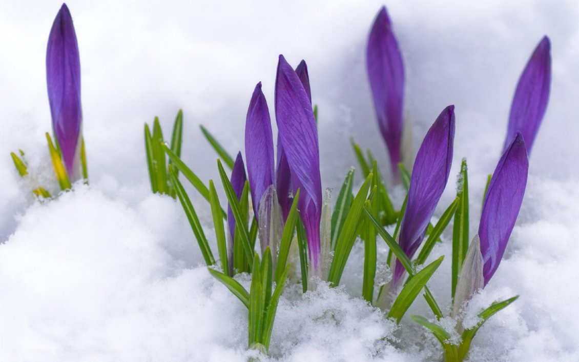 Purple Flowers Under The Cold Snow Winter And Spring Time