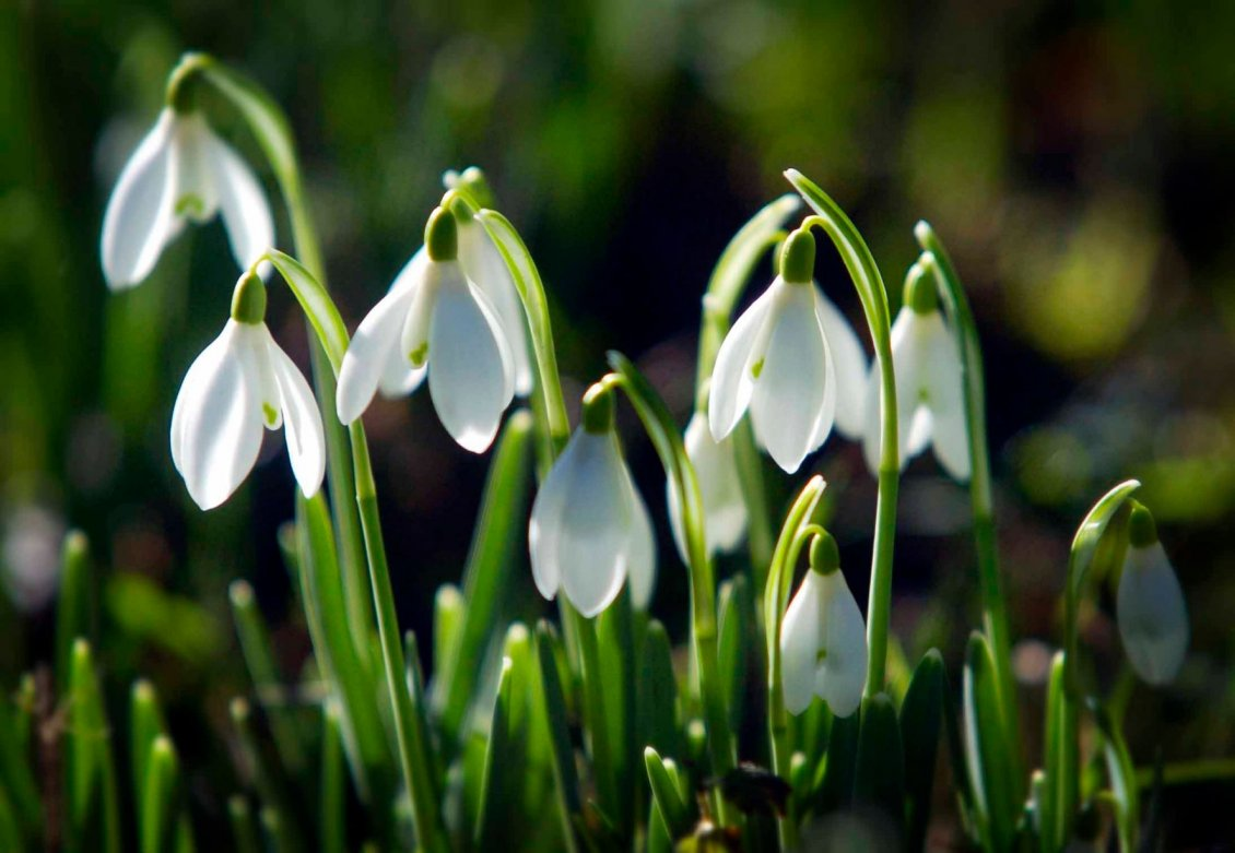 Wallpaper macro spring snowdrops images for desktop section цветы