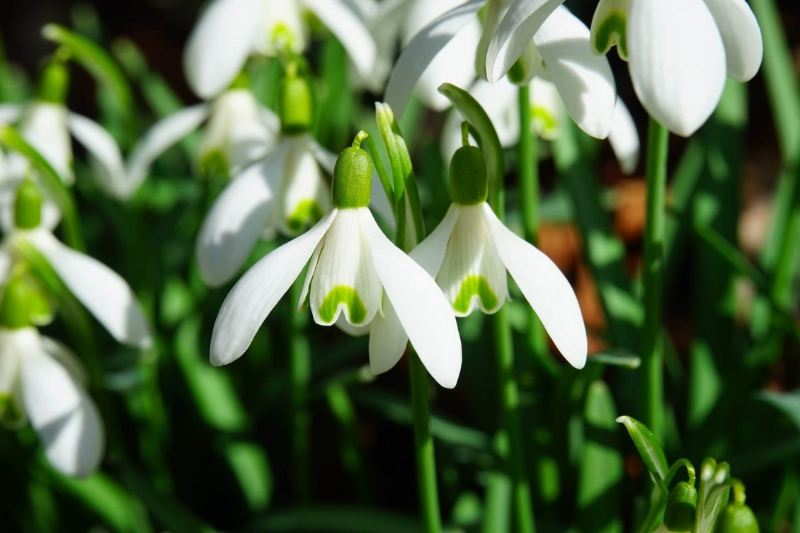 Download Wallpaper Macro snowdrops in sunshine - Beautiful spring flowers