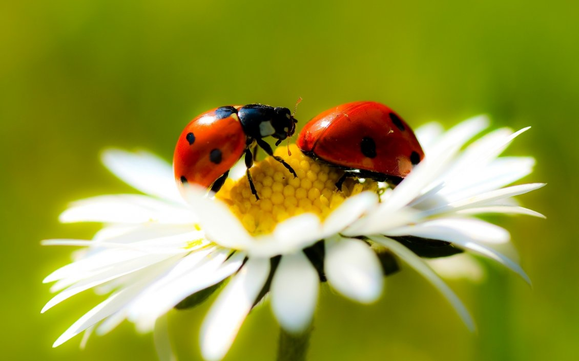 Download Wallpaper Two ladybugs on a flowers - Beautiful macro wallpaper