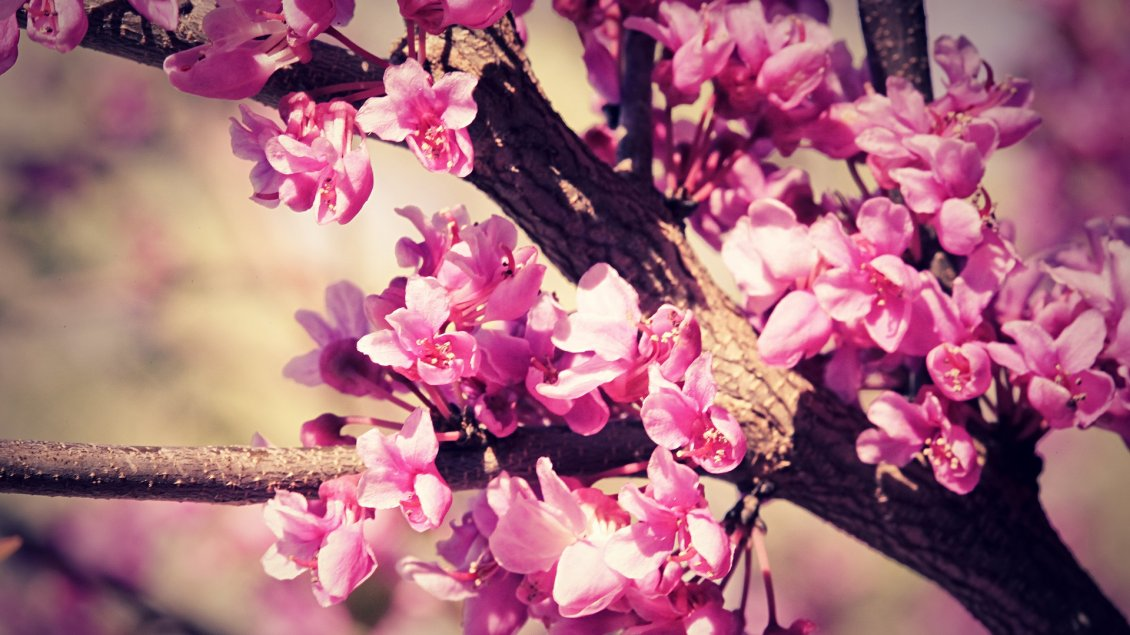 Download Wallpaper Cherry tree blossom flowers - HD wallpaper