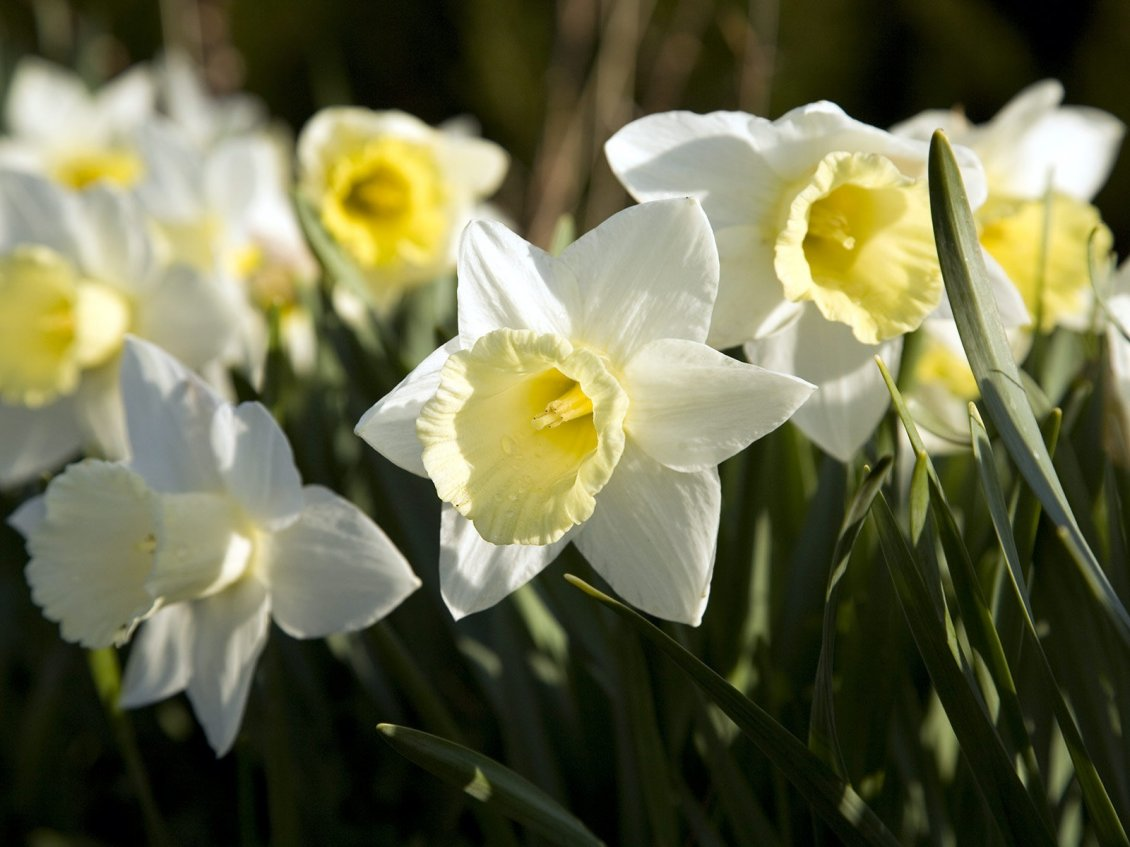 Download Wallpaper Beautiful white and yellow daffodils flowers in the garden