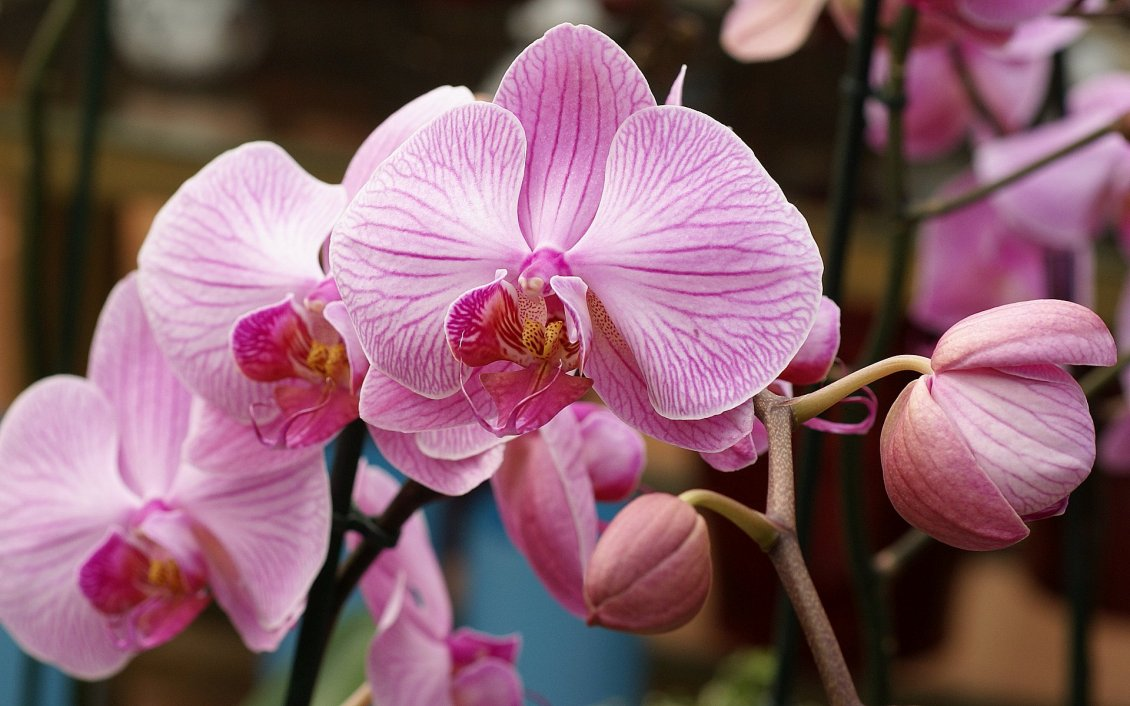 Download Wallpaper Macro orchid flowers in the garden - Beautiful spring time