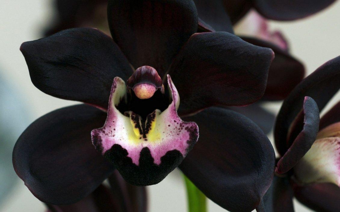 Wonderful Rare Black Orchid Flower Macro Wallpaper