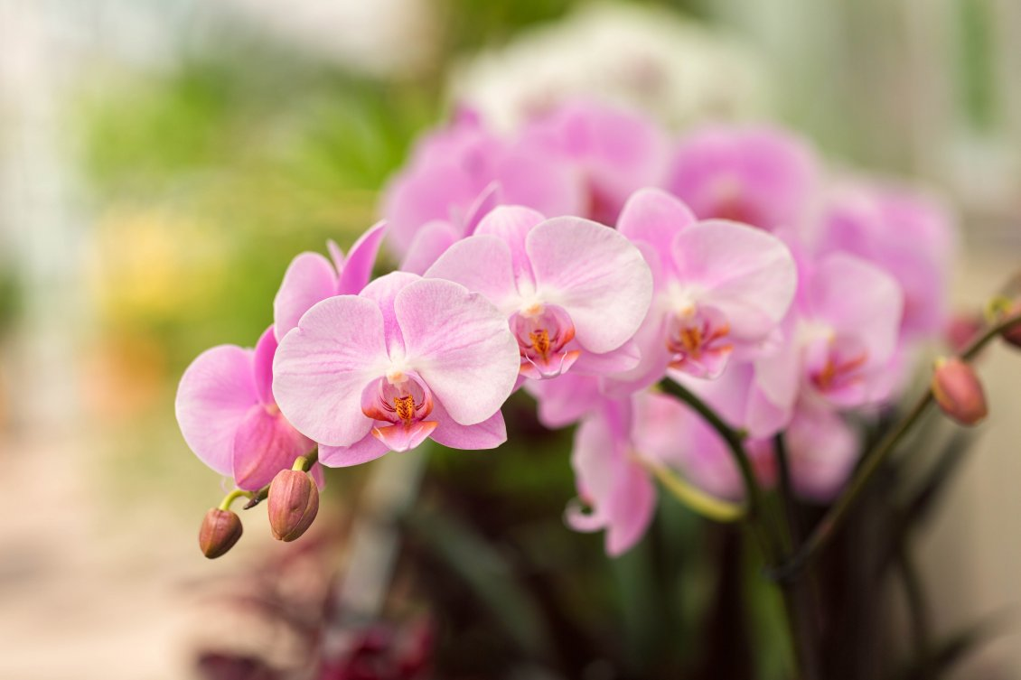 Download Wallpaper Little pink orchid flowers - Wonderful plant