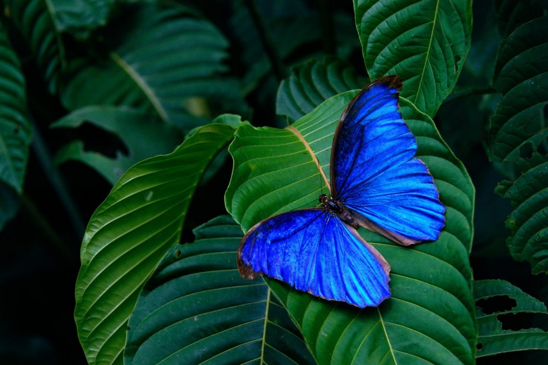 Download Wallpaper Wonderful blue butterfly on a green leaf - Macro wallpaper