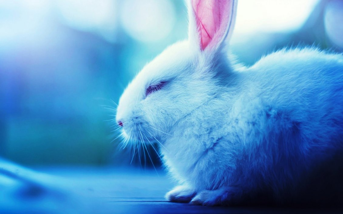 Download Wallpaper Sleepy white rabbit - Fluffy animal