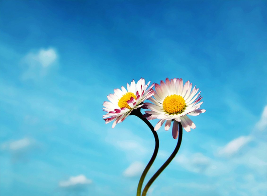 Download Wallpaper Two beautiful flowers and a beautiful blue sky