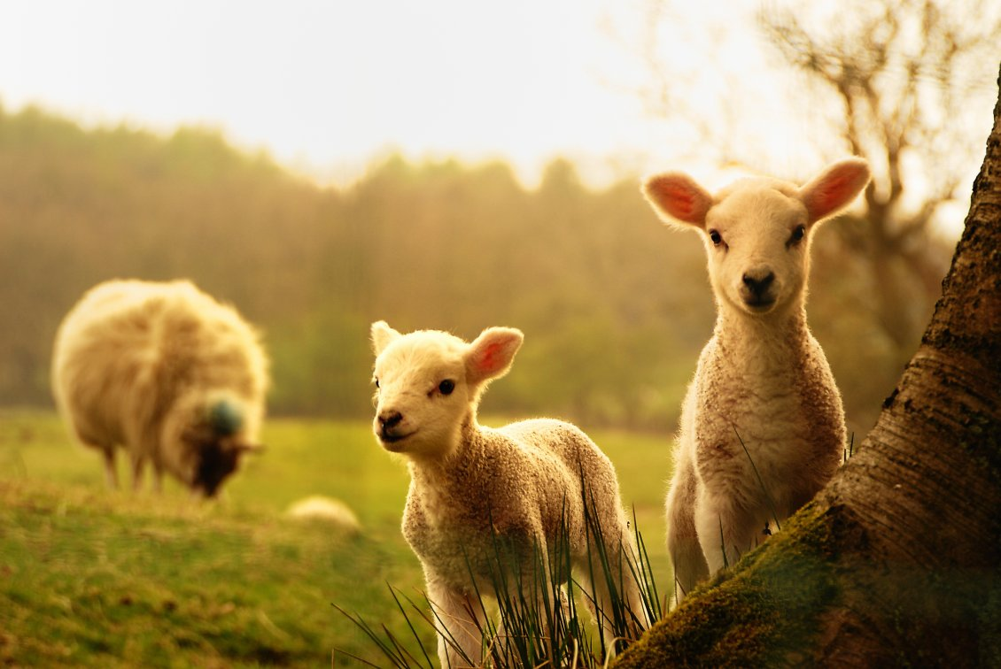 Download Wallpaper Sweet young lambs play near mother - HD animal wallpaper