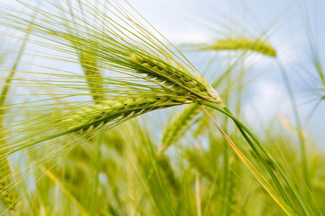 Download Wallpaper Macro nature - Green ear of wheat