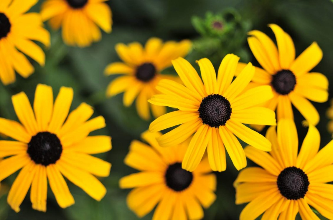 Download Wallpaper Yellow flowers - Gloriosa Daisy HD wallpaper