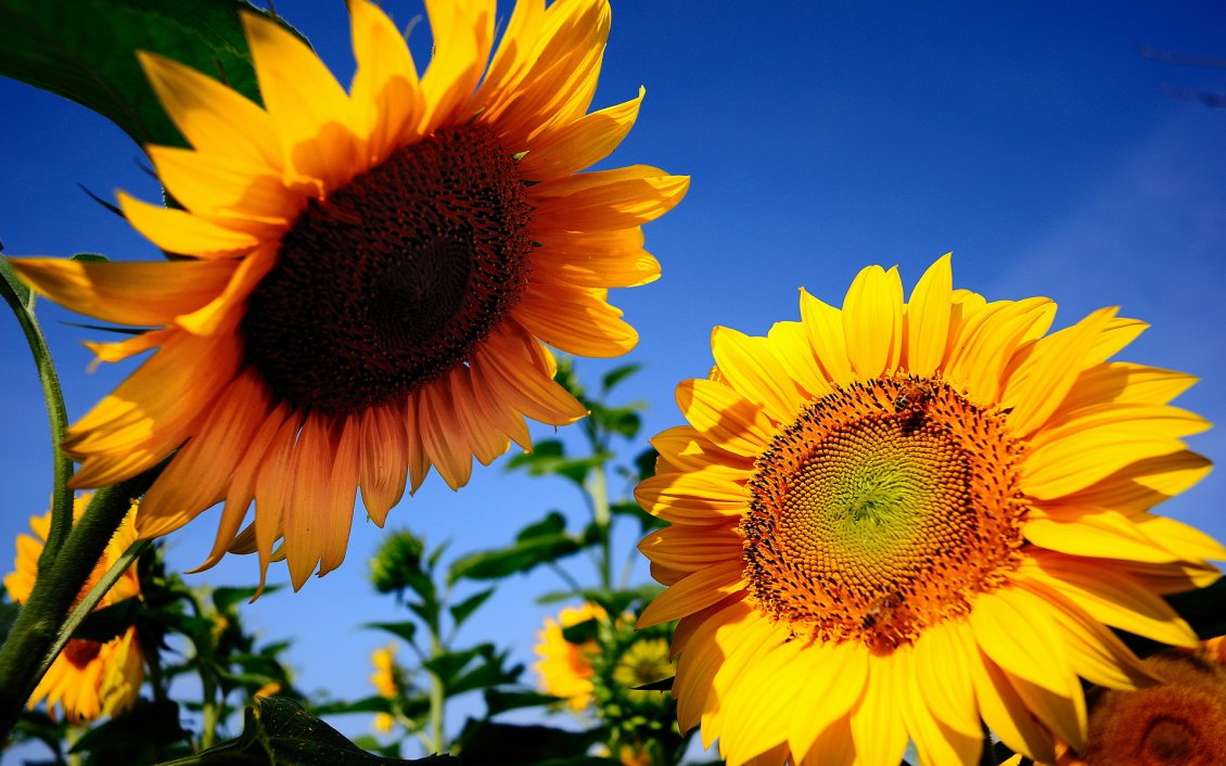 Download Wallpaper Two sunflowers talk in the sun - Happy day