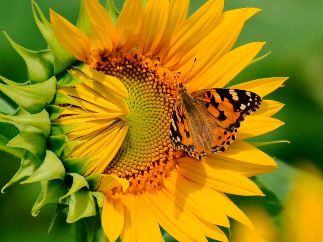 Download Wallpaper Orange butterfly on a sunflower - Happy summer day