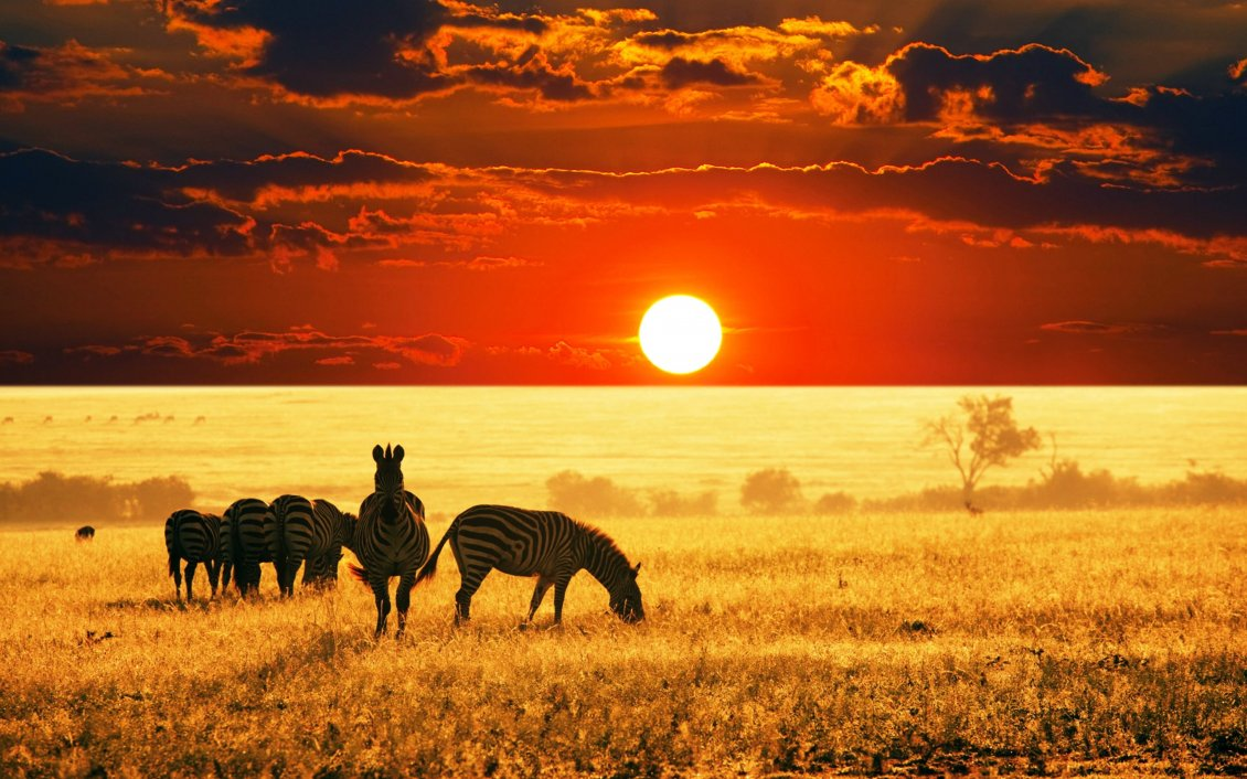 Download Wallpaper Big red sunset in the jungle - Zebra family eating