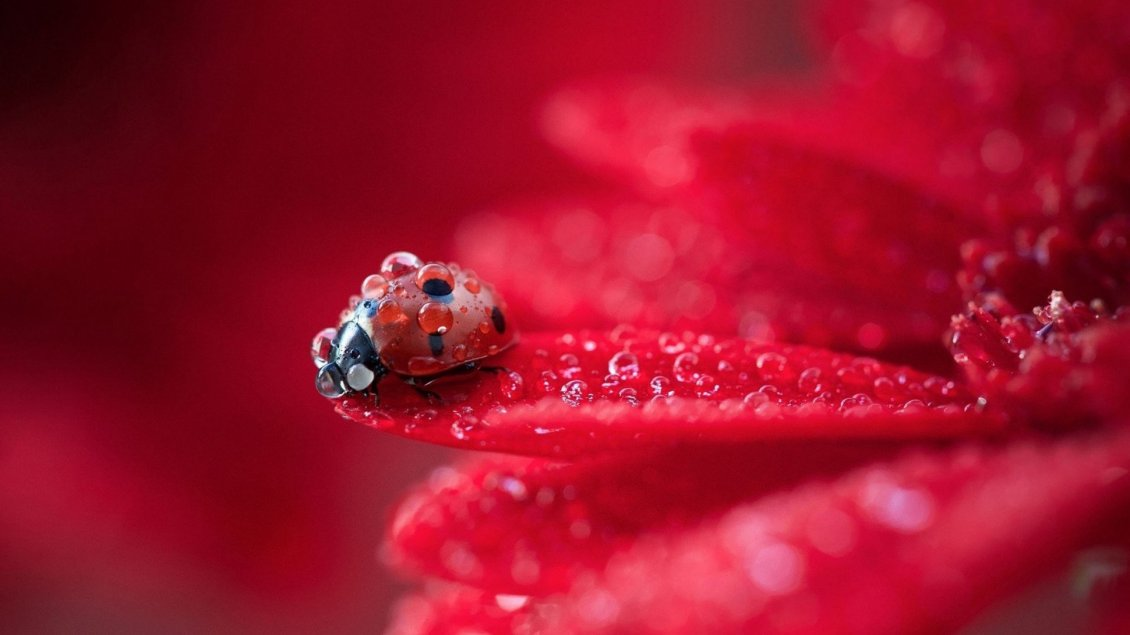Download Wallpaper Macro water drops on a little ladybug - HD wallpaper