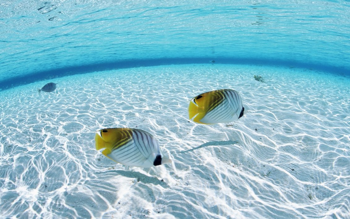 Download Wallpaper Two white and yellow fishes in the clear ocean water