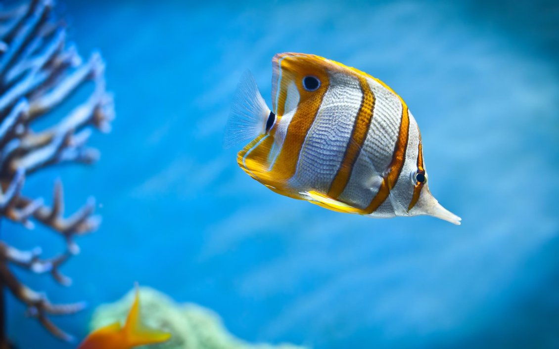 Download Wallpaper Macro wonderful zebra fish - White and yellow lines