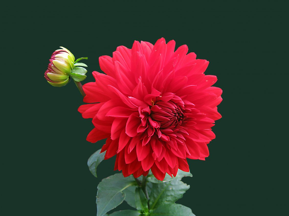 Download Wallpaper Beautiful red Dahlia flower - Perfume