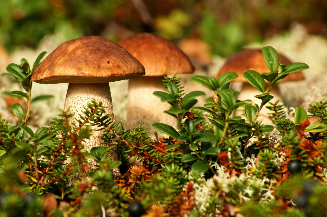 Download Wallpaper Delicious mushrooms on a wonderful Autumn season