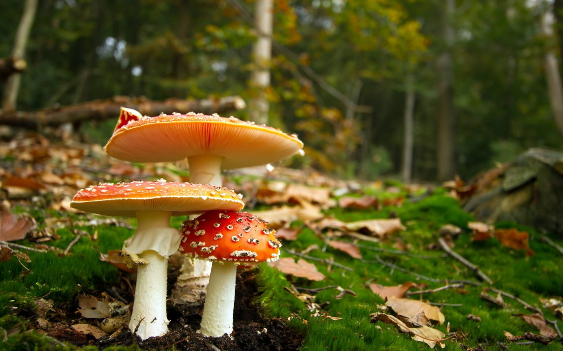 Download Wallpaper Poison mushrooms in the forest - Autumn season