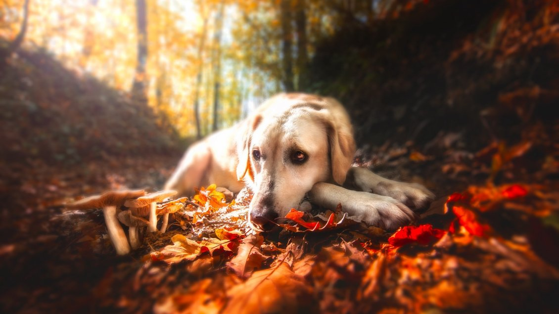 Download Wallpaper Sad dog sit on a leaves Autumn carpet - HD wallpaper