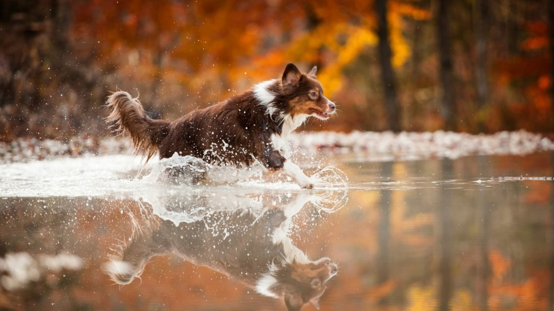 Download Wallpaper Happy dog run into the water - Autumn season background
