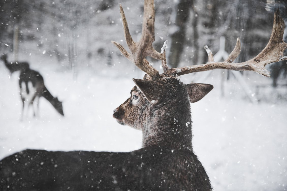 Download Wallpaper Wonderful winter season for a deer family - Wild animal