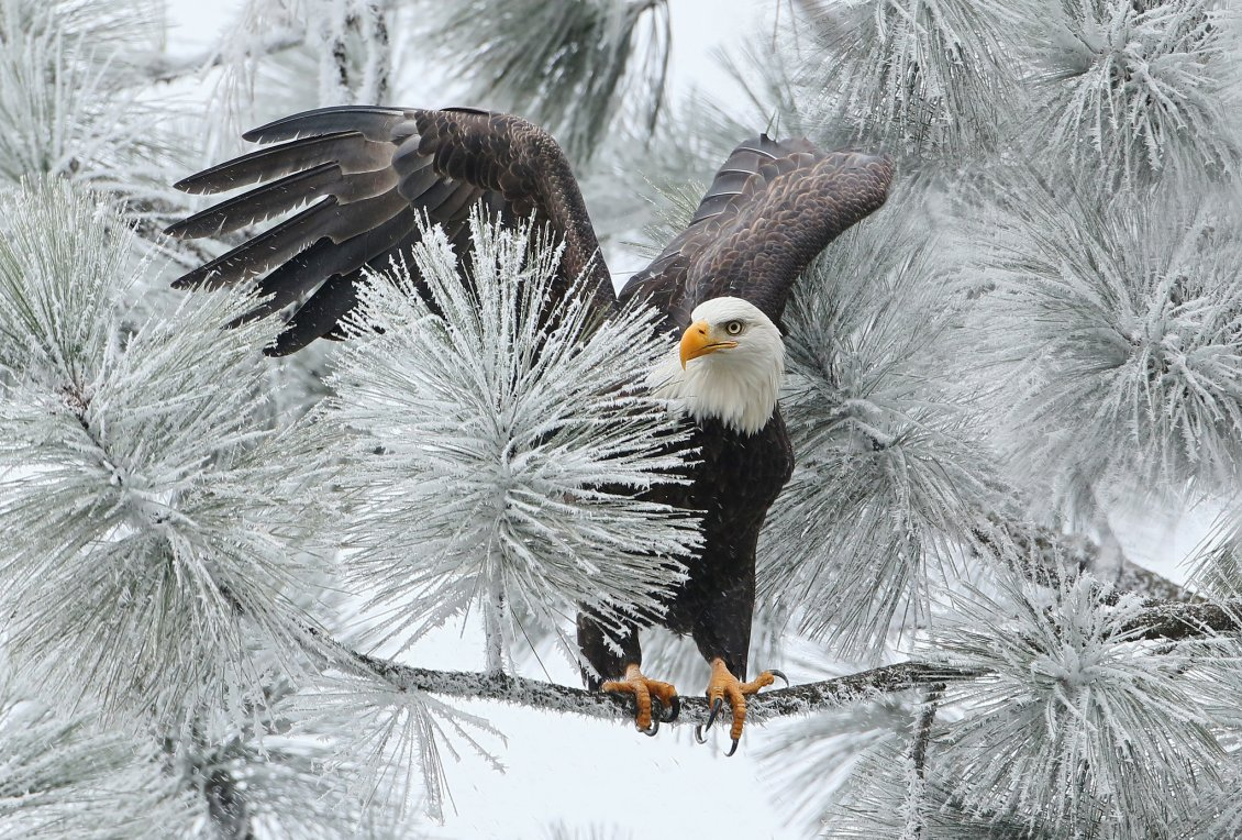 Download Wallpaper Big black eagle on a frozen branch of tree - Wonderful photo