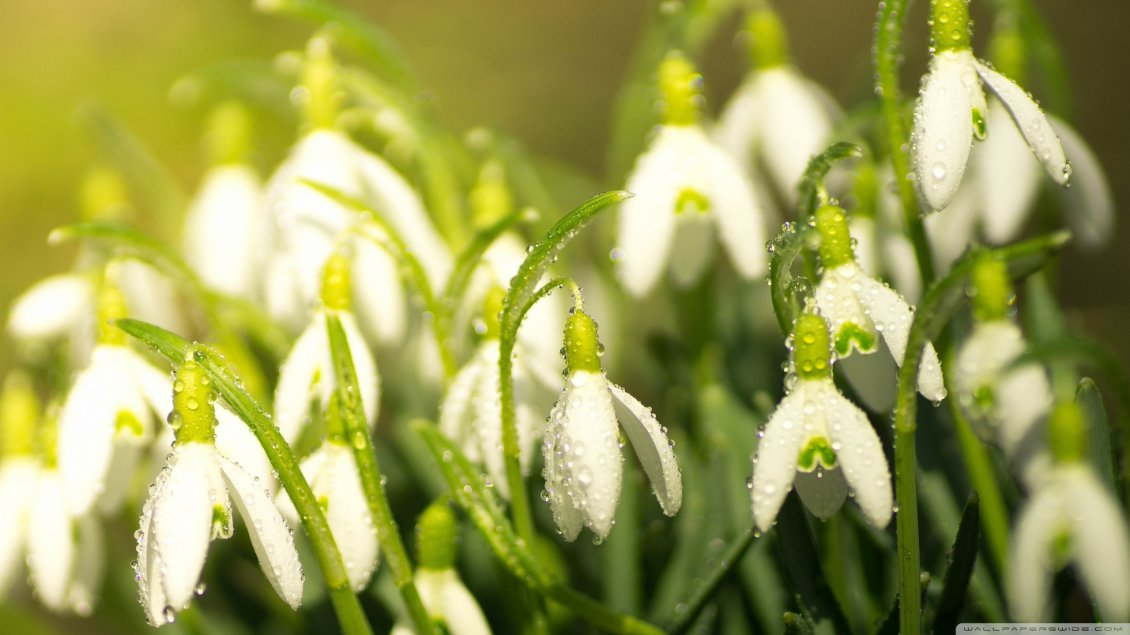 Download Wallpaper Water drops on the snowdrops - Good morning spring season