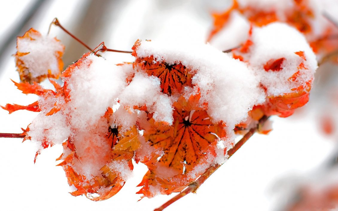 Download Wallpaper Snow cover the rusty leaves on a branch tree