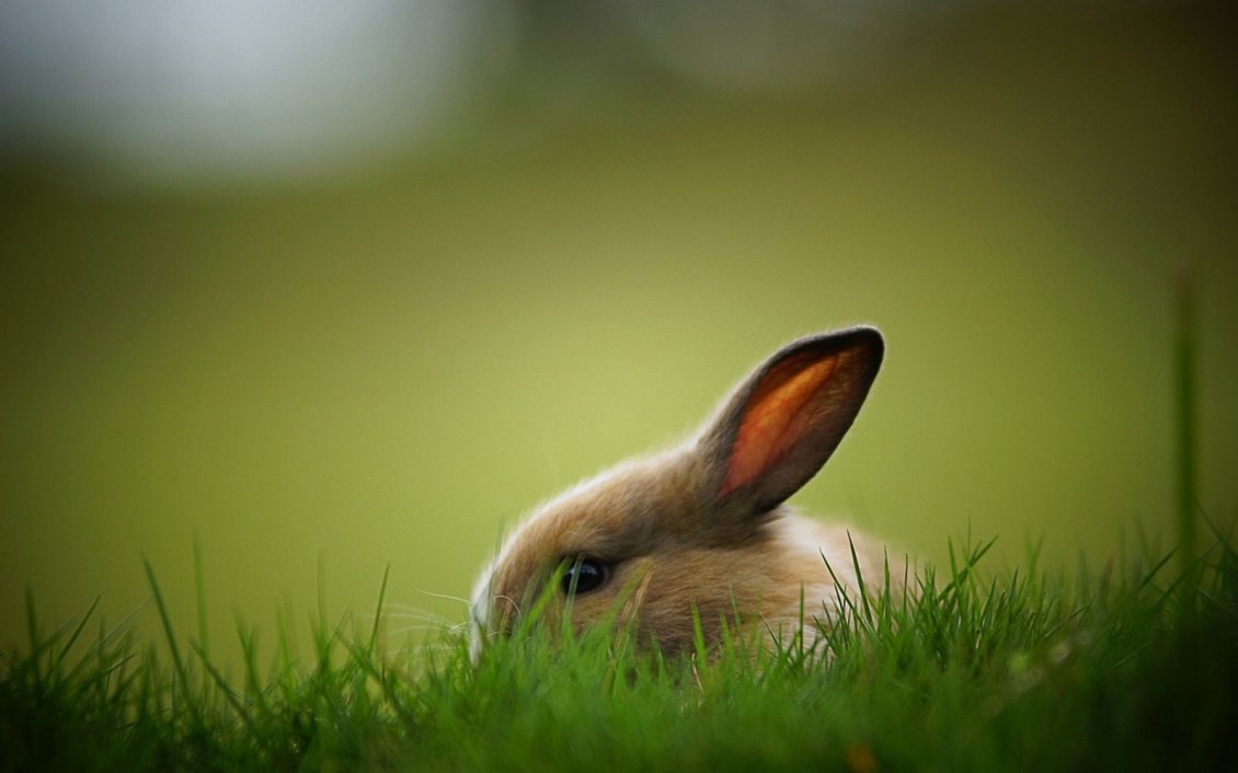 Download Wallpaper Light brown rabbit in the green grass - Domestic animal
