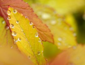 Yelowed leaves, drops of rain. Autumn day.