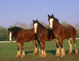 Three brown beautiful horses on the field