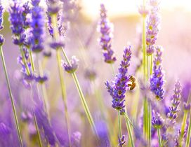 Lavender purple flowers