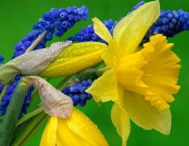 Daffodils and Hyacinth - Yellow and blue flowers