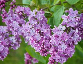 Branch with purple lilac flowers wallpaper