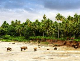 Herd of elephants crossing a river