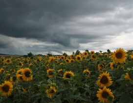 Field with sunflowers and cloudy sky
