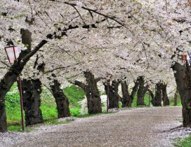 Spring time - The trees are blooming on the pathway