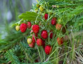 Red strawberries in the grass