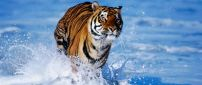 Wild tiger running in the fresh water