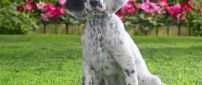 White English Setter in the yard