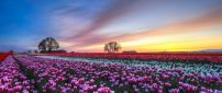 Colorful flowers field - Tulips wallpaper