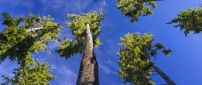 Tall trees with small branches and blue sky