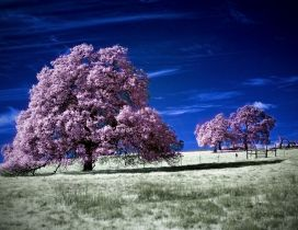 Blooming trees with pink flowers on the field