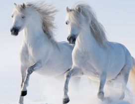 Two beautiful white horses running in the snow