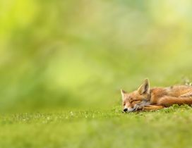Baby fox sleeping in grass